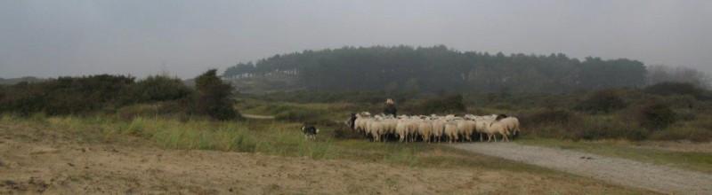 Met de herder en de Kennemer Schaapskudde op pad.