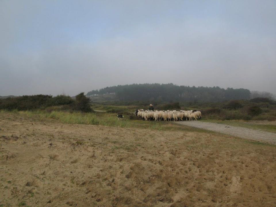 Foto van Met de herder en de Kennemer Schaapskudde op pad