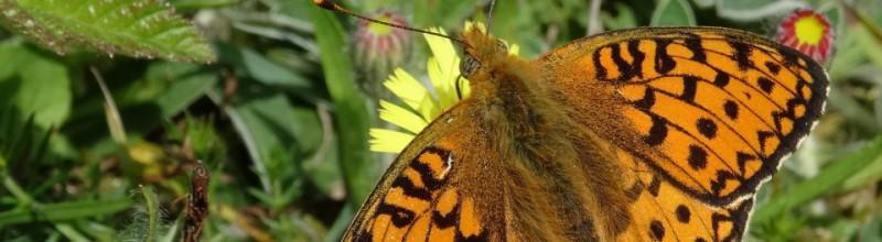 Publieksexcursie Libellen en Vlinders op Middenduin