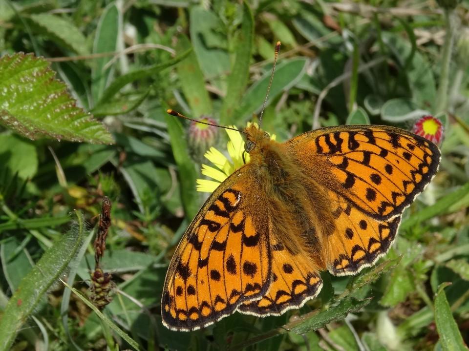 Foto van Publieksexcursie Libellen en Vlinders op Middenduin