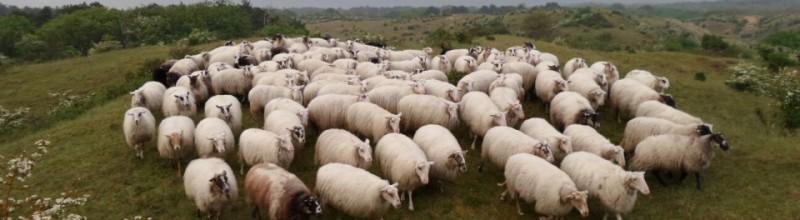 GEANNULEERD Met de herder en de Kennemer Schaapskudde op pad