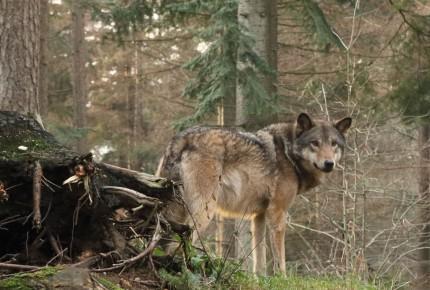 Blog: Wolf jongste aanwinst in de natuur